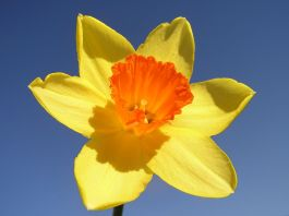 1024px-Narcissus-closeup