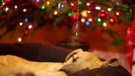 phoebe-great-dane-puppy-sleeping-christmas-tree-lights